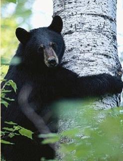 Blk_bear